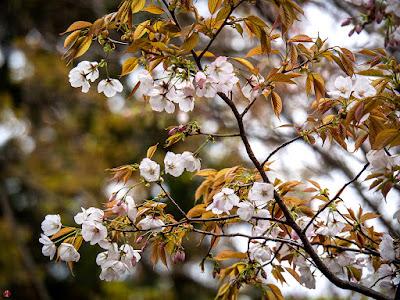 Yama-zakura (Cerasus jamasakura (Sieb. ex Koidz.) H.Ohba) flowers: Engaku-ji