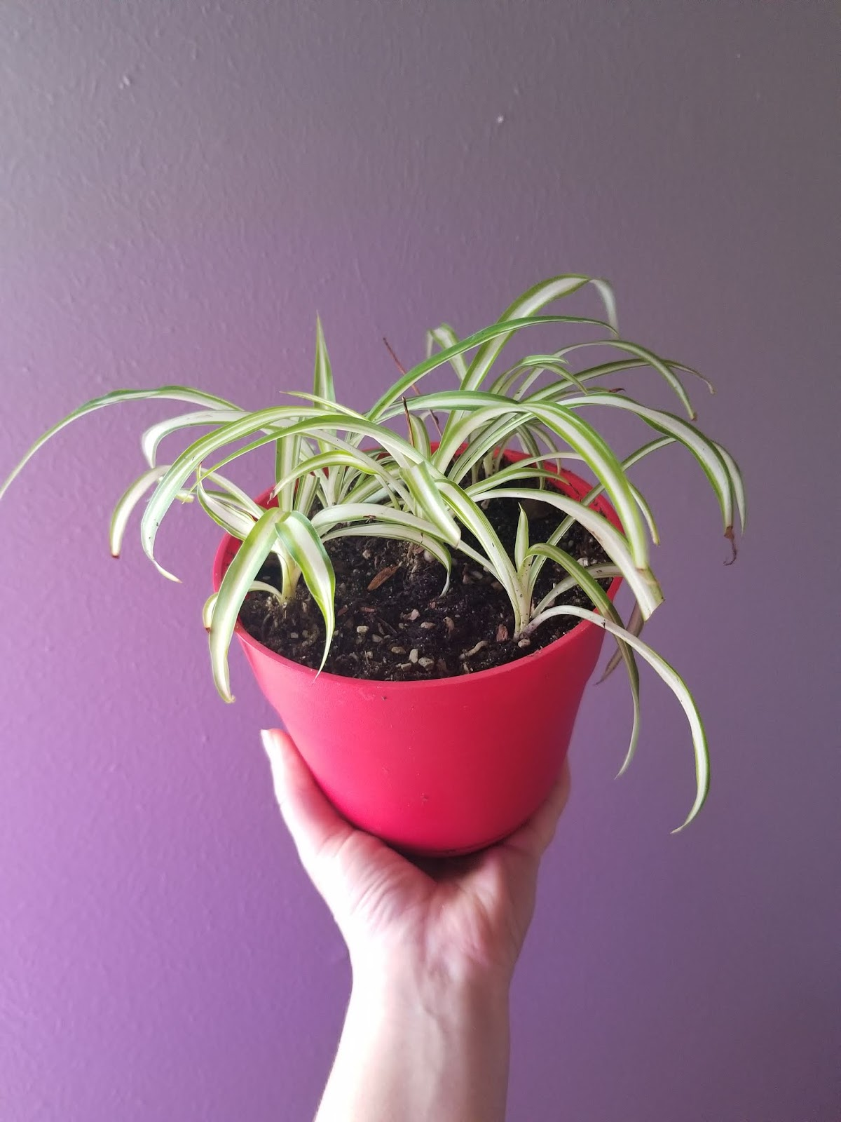 Spider Plants - 7 Months - Now Available