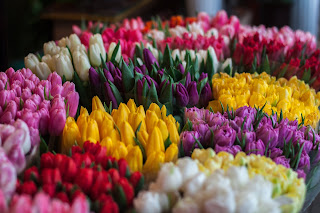 Multi-colored tulips on display. Photo by John Mark Smith