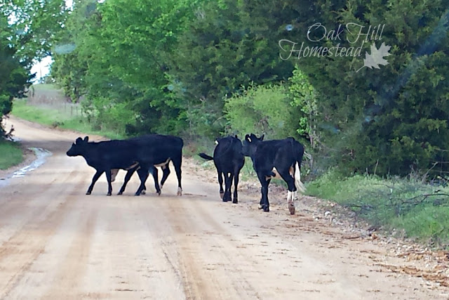 Young cows in the road