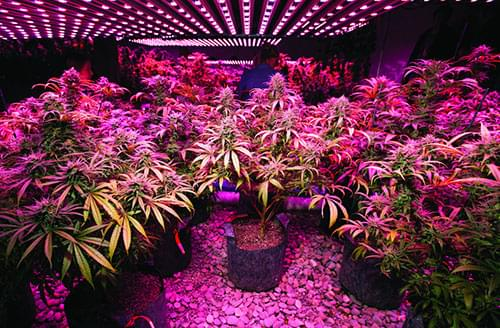 Macedonia's First Licensed Cannabis Cultivation Facility Deploys Heliospectra LED Lighting Solutions