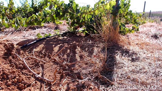 Keinokastelua eteläafrikkalaisella viinitilalla - www.blancdeblancs.fi