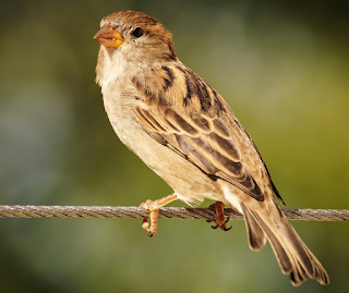 5 Few Lines on Sparrow in Hindi