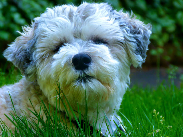A cute little white dog in the grass, to illustrate an  interview with Dr. Marty Becker