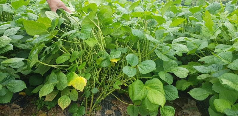 농촌진흥청, 토종 팥 종자·잎 분석… 팥잎 활용 가능성 열어
