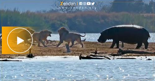 ڤیدیۆ.. سێ شێر لەماوەی سێ كاتژمێردا شێرێكی دیكە دەكوژن، فیل و كەركەدەنەكان دەچن بەهانایەوە