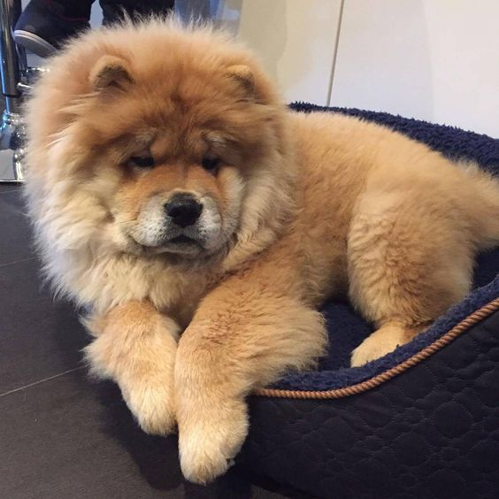 77+ Chow Chow Purple Tongue