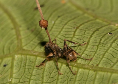 Ant infected with Ophiocordyceps unilateralis (stroma visible)