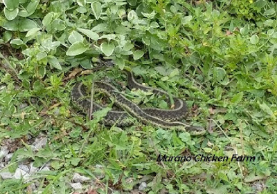 Snake in grass outside chicken coop
