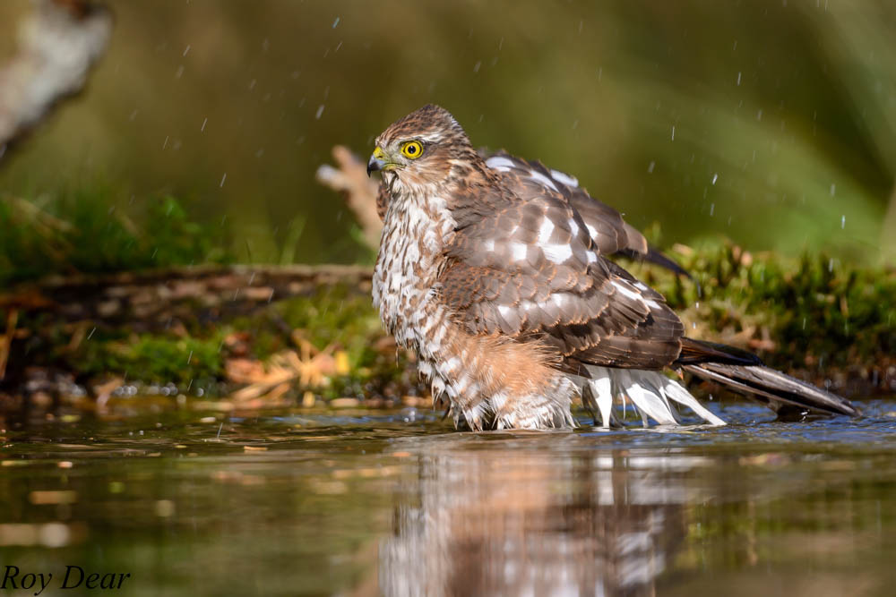 Foto 39 s sperwer in bad - Foto in een bad ...