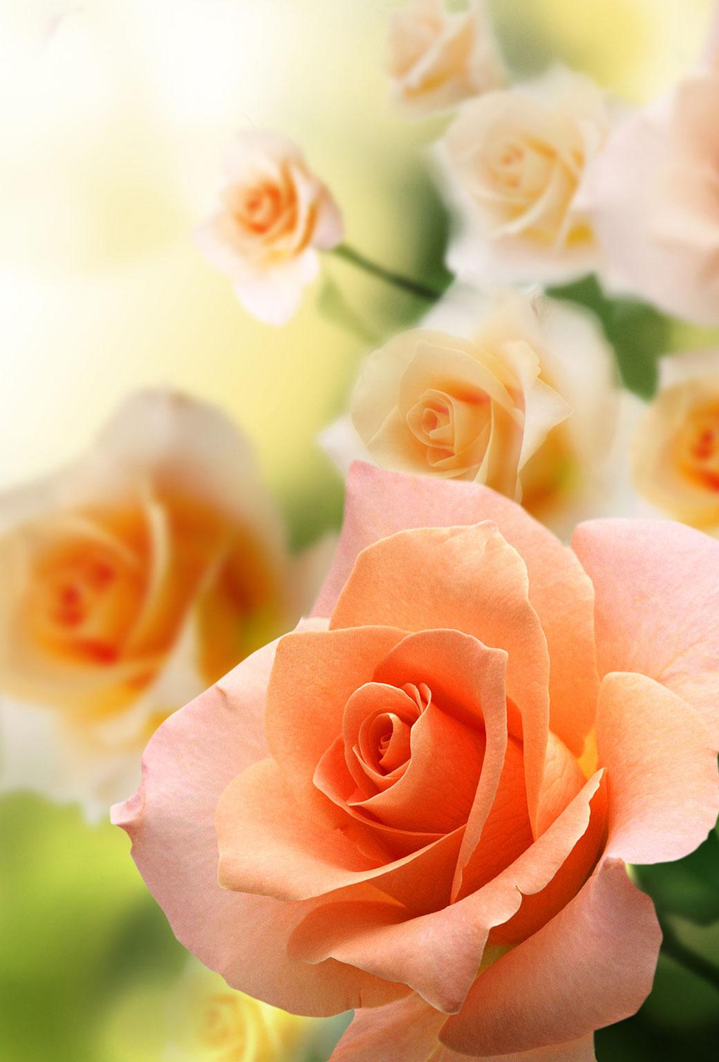 Pink roses orange macro mobile wallpaper