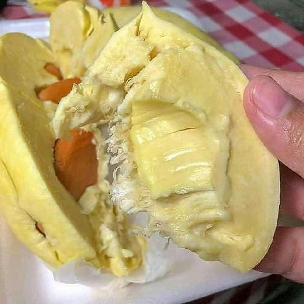 Bibit Durian Musangking Kaki 3 Gorontalo