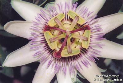 Pasionaria Passiflora caerulea