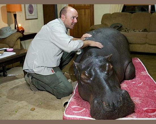 Pets bizarros - Hipopótamo