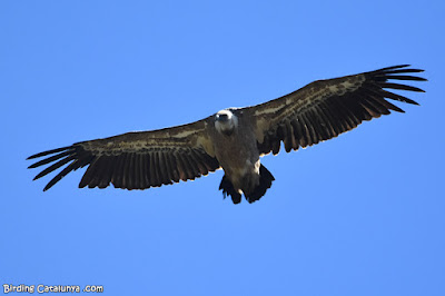 Voltor comú en vol