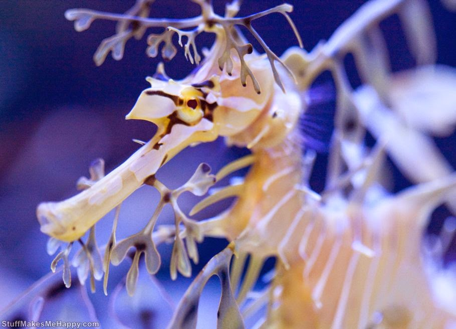 Leafy seadragon Photo by Nathan Rupert