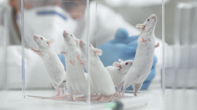 Chinese Military 'Engineered Mice With Human Lungs' To Test Virus, Report Says