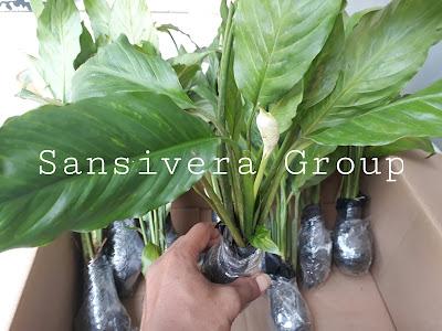 Tanaman Spathyphillum Peace Lily