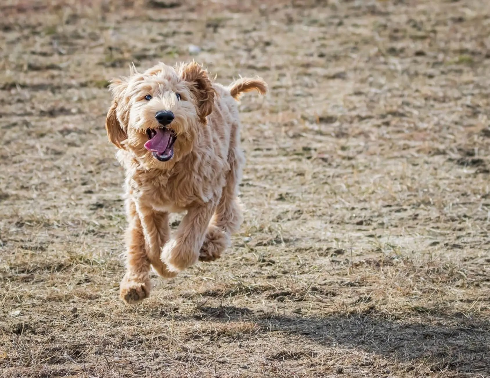 Labradoodle-Training-To-Come
