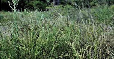 Carquejilla (Baccharis phyteumoides)