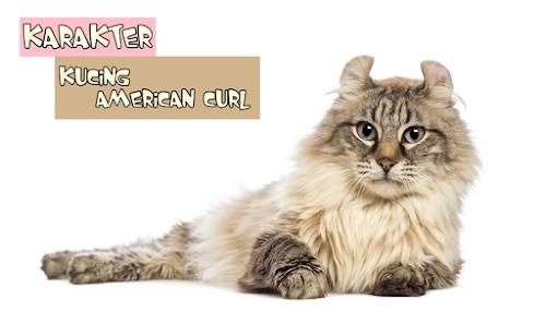 Karakter Kucing American Curl