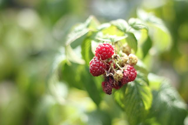 Cluster of raspberries on the stem in sunshine