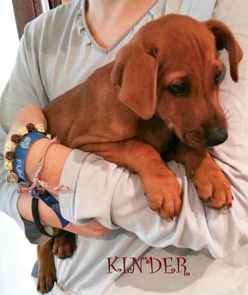 cachorro cruce braco húngaro