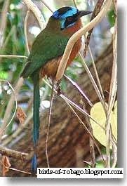 Blue - crowned Motmot (Motmotus momota) Birds of Tobago