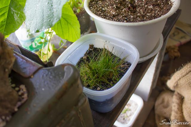 ヘアーグラスショート 水上栽培