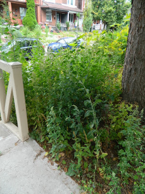 Koreatown Toronto Summer Front Yard Cleanup Before by Paul Jung Gardening Services--a Toronto Organic Gardener
