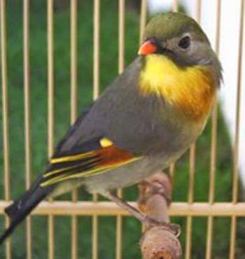 Image result for burung robin 2017