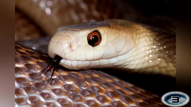 The Coastal Taipan, most venomous snake, most poisonous snake, top ten venomous snake, top ten poisonous snake