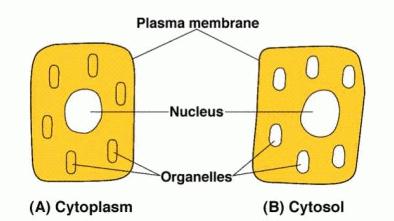 Perbedaan Sitosol dan Sitoplasma
