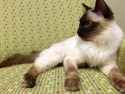 Sifat Kucing Balinese