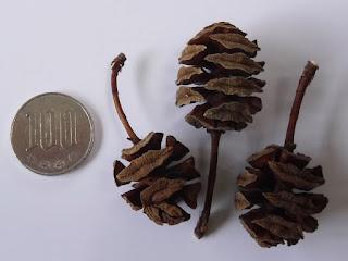 拾ってきたメタセコイアの果実殻の大きさを100円玉と比べる