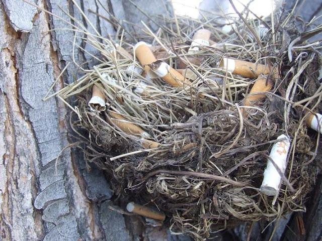รังนก จากก้นบุหรี่