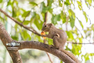 Bananenhörnchen mit Frucht in Malaysia. www.WELTREISE.tv