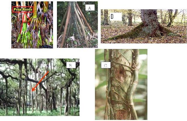 modifikasi akar