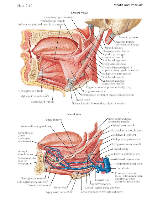 Mastoid process Styloid process Pharyngobasilar fascia Superior pharyngeal constrictor muscle Stylohyoid ligament Styloglossus muscle Stylopharyngeus muscle Stylohyoid muscle Middle pharyngeal constrictor muscle Digastric muscle (posterior belly) (cut) Hyoglossus muscle Intermediate tendon of digastric muscle (cut) Hyoid bone Digastric muscle (posterior belly)(cut) Glossopharyngeal part of superior pharyngeal constrictor Genioglossus muscle Mylohyoid muscle (cut) Geniohyoid muscle Lingual nerve Artery to frenulum Submandibular duct (of Wharton) Styloglossus muscle Palatoglossus muscle (cut) Stylohyoid ligament Stylopharyngeus muscle Lingual artery Internal jugular vein Retromandibular vein Facial vein Lingual vein Sublingual artery and vein Geniohyoid muscle Genioglossus muscle Hyoid bone Hypoglossal nerve (XII) Palatopharyngeus muscle Palatoglossus muscle Inferior longitudinal muscle of tongue Submandibular ganglion Deep lingual artery and venae comitantes Vena comitans of hypoglossal nerve Dorsal lingual artery and vein Suprahyoid artery External carotid artery Hyoglossus muscle (cut) Superior pharyngeal constrictor muscle Fibrous loop for intermediate digastric tendon