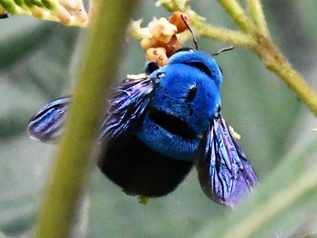 abeja carpintera con pelaje azul cuelga de una flor