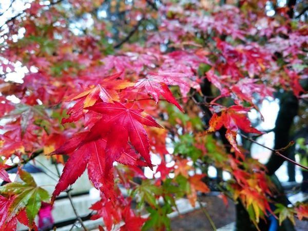 台灣賞楓秘境-福壽山農場-楓葉和紅葉