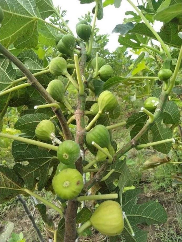 bibit buah tin nexue Jawa Barat