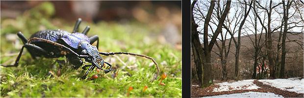 Lapos kékfurtinka (Carabus intricatus) és az öreg tölgyek