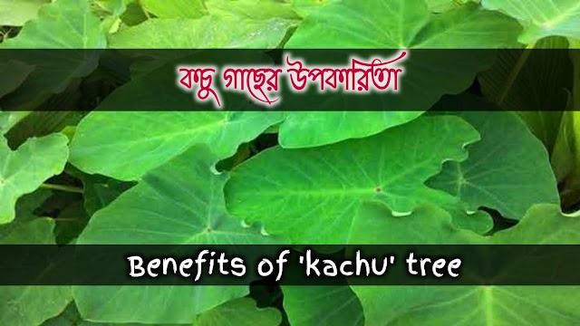কচুর এর বনৌষধি গুনাগুন ও উপকারিতা- 'Kachur' herbal qualities and benefits