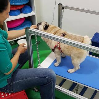 exercício de fortalecimento muscular em cães