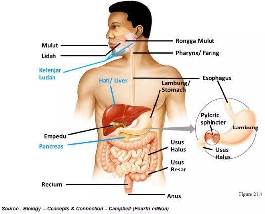 Organ Pencernaan Manusia Materi Sistem Pencernaan SMA