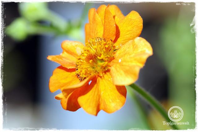 Gartenblog und Foodblog Topfgartenwelt Buchtipp Kreative Naturfotografie: Inspirationen von Daan Schoonhoven - Geum Nelkenwurz in der Sonne