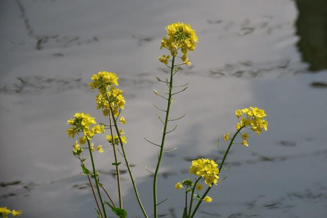 川面と菜の花