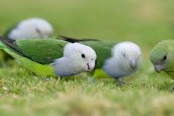 Pecinta Burung, Berikut Jenis-jenis Burung Lovebird Termahal