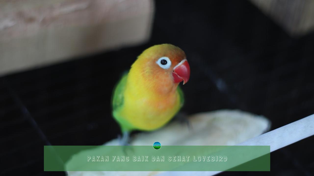 Pakan yang Baik dan Sehat Lovebird